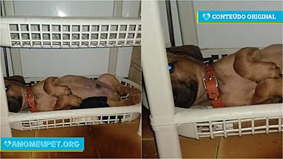 O filhote tem apenas dois meses e reside no Rio de janeiro com o seu dono.