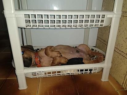 O pequeno Tobias rejeitou cama pet para se acomodar na fruteira da cozinha.