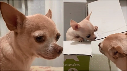 O chihuahua vive com a sua dona no Peru e desde que perdeu seu amigo canino ficou triste.