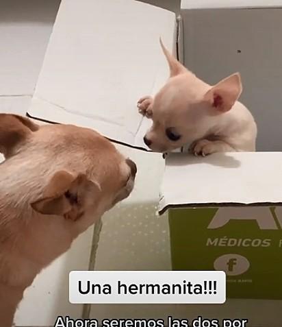 A reação do cão com o filhote é adorável, agora o o chihuahua foi promovido a irmão mais velho.