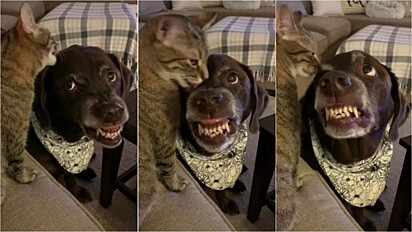 Gatinho lambe a cabeça de cão, o cão não gosta e rosna, o gato ignora e continua lambendo.