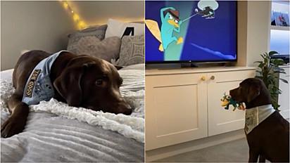 O labrador Ollie quando está triste adora assistir o desenho Phineas e Ferb para se alegrar.