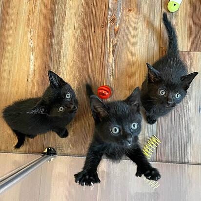 Os três irmãos fazem parte de uma ninhada de seis gatinhos; os outros felinos estão sob os cuidados de outra voluntária.
