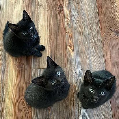 Quando o trio estiver maior, os gatinhos serão disponibilizados para adoção.