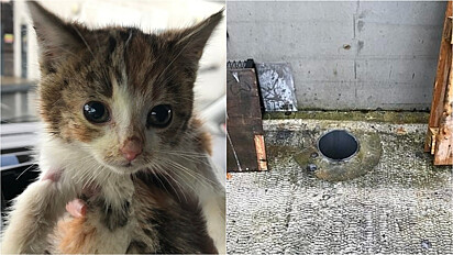 Os irmãos felinos foram encontrados em uma propriedade industrial em Stafford, West Midlands, Inglaterra.