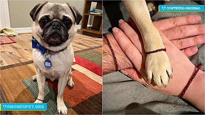O pug Crouton, que vive com a sua família em Michigan, Estados Unidos, ganhou dos seus donos uma linda pulseira da amizade.