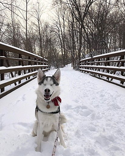 A cegueira da husky não a impede de ter uma vida feliz e saudável.