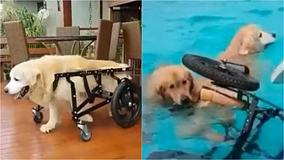 O golden retriever não resistiu e pulou na piscina junto com a sua irmã.