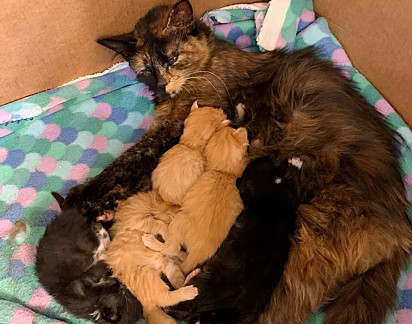 A gatinha deu à luz seis lindos filhotes.