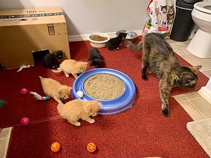 A gatinha não produziu leite, então a família teve que ajudar com suprimentos e mamadeiras para os filhotes.