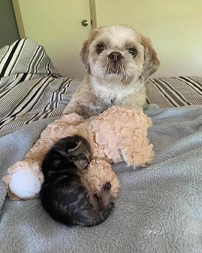 A gatinha foi levada para casa da voluntária Kate para poder se recuperar e o cãozinho Moon virou seu protetor.