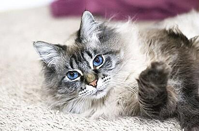 A gatinha Luna faleceu aos cinco anos, vítima do vírus da leucemia felina.