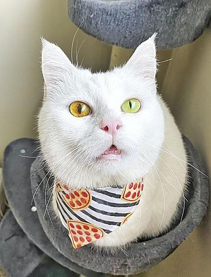 A felina possui poucos dentes devido a um problema dentário, mas isso não a impede de saborear deliciosos petiscos.
