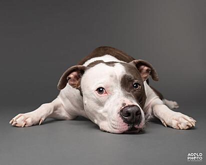 O pit bull ficou muito entristecido com a perda da sua irmã canina da mesma raça.