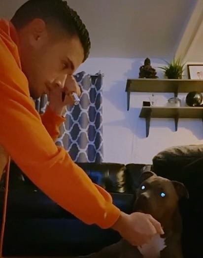 O pit bull fica atônito ao perceber o seu dono escondeu a luz de laser.
