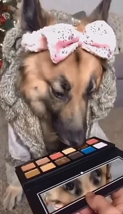 A cachorrinha bem decidida escolhe a cor na paleta de sombras para sua dona maquiá-la.