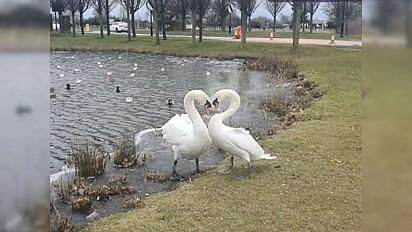 O reencontro do lindo casal aconteceu do dia 14 de fevereiro no lago do parque Wychwood, Inglaterra.