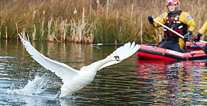 A cisne precisou ser removida do lago, pois estava com uma das patas machucada e necessitando de cuidados.