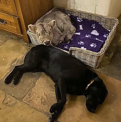 O labrador Algernon cedeu sua cama para a bezerrinha e dorme adoravelmente ao seu lado.