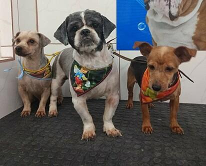 Os cães eram usados para reprodução e venda de filhotes, com o passar do tempo os donos os castraram e passaram a cuidá-los em casa.