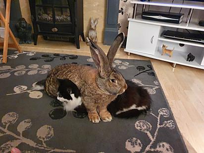 O gato muito paciente permite que o coelho fique deitado em cima dele.
