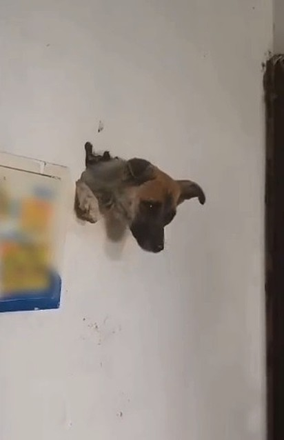 Acredita-se que o cão se assustou com os fogos de artifício e acabou fugindo ficando preso na parede.