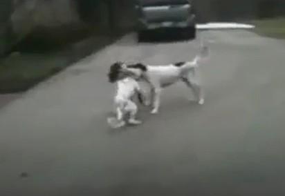 Na brincadeira de mordidas, o cão finge desmaio ao receber uma mordida e o amigo canino fica sem reação.