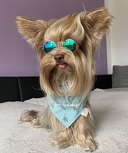 Teddy, da raça yorkshire terrier, de dois anos, tem feito o maior sucesso no Instagram.