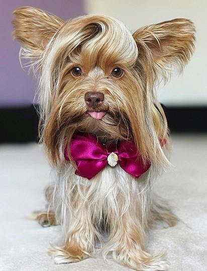 Para manter o pelo do Teddy brilhante, sua dona usa óleos naturais.