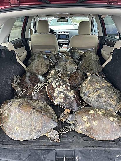 As tartarugas foram realocadas para um centro de convenção na cidade de South Padre Island.