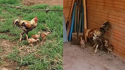 O galo vive com seus pintinhos em uma fazenda em Montes Claros, Minas Gerais.