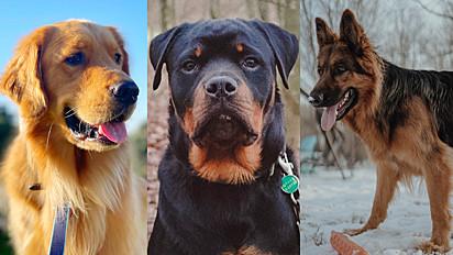 Entre as raças mais procuradas estão: golden retriever, rottweiler e pastor alemão.
