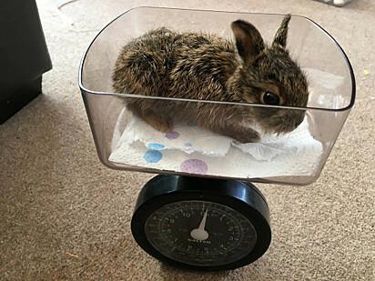 Passado alguns dias de cuidado com a lebre, ela começou a ganhar peso.