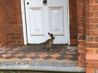 Após ser devolvida saudável à natureza, a lebre continuou voltando para a casa para visitar a família.