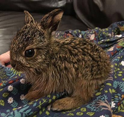 A pequena lebre órfã foi encontrada no quintal da família Terry.