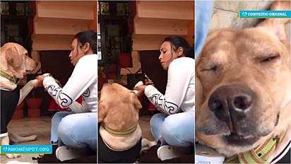Labrador finge desmaio enquanto a sua dona corta as suas unhas e vídeo viraliza no TikTok e Instagram.