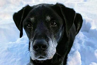 O labrador Hugo não saiu do lado do seu dono Brian Watson, de 81 anos, durante o ocorrido.