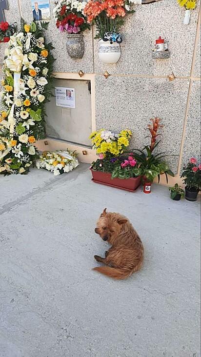 Não se sabe como Fulmine encontrou o túmulo do seu dono, pois o cão nunca havia estado naquele lugar.