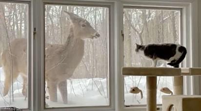 A frequência com que o cervo passou a visitar a gatinha fez dele um novo amigo da Lulu.