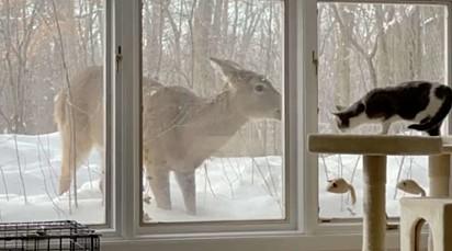 O cervo foi nomeado Dolly.