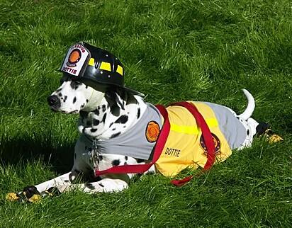 Embora os bombeiros aceitem várias raças, o dálmata ainda é considerado o mascote dos bombeiros.