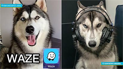 Cachorro famoso no TikTok e Instagram ganha voz de orientação automobilística no aplicativo de navegação por GPS, Waze.