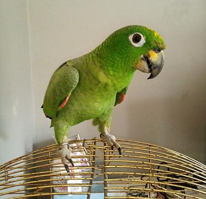 O papagaio Custard.