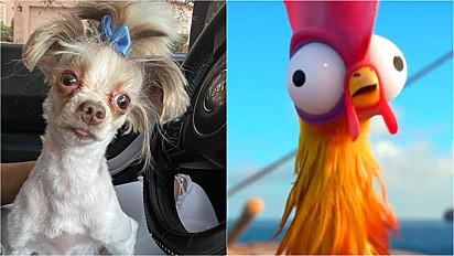 O cachorrinho é comparado a personagem galinha do filme Moana.
