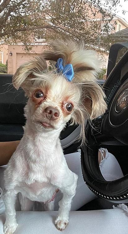 O cachorrinho depois da ida ao pet shop.