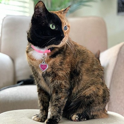 A gata possui a rara condição genética chamada quimerismo.