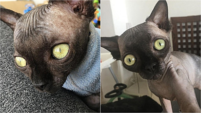 O amor e o cuidado que a gatinha tem recebido da sua dona tem sido o combustível para o tratamento da hidrocefalia.