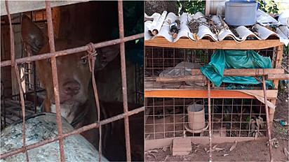 Pit bull foi encontrado em situação de maus-tratos em Adamantina, São Paulo.