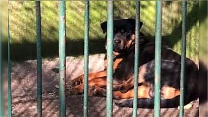 Rottweiler é visto ocupando uma cela de um lobo na China.