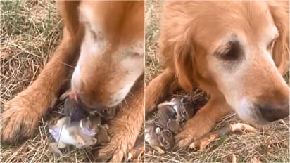 Golden retriever encontra filhotes de coelho durante um passeio com a sua dona e resolve protegê-los.